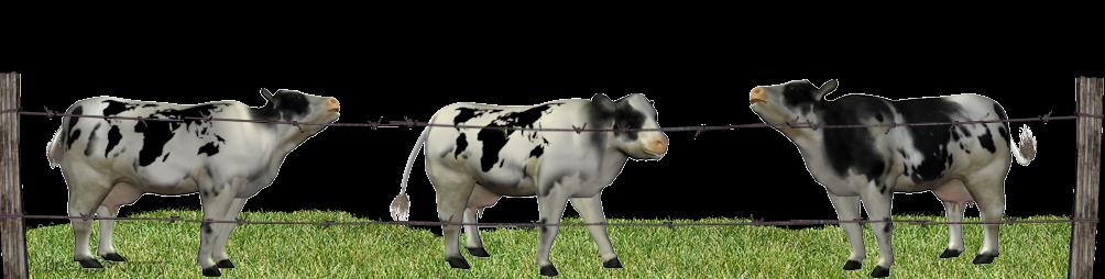 rosja-koeien
