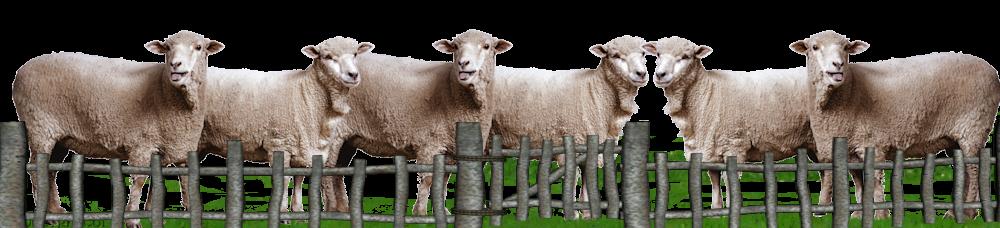 rosja-schapen